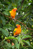 Sun conure parrot on the tree Stock Images