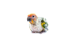 Sun conure parrot on white background. Royalty Free Stock Images