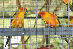 Sun conure parrots in aviary. Group of sun conure parrots in aviary royalty free stock photo