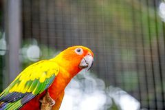 Sun Conure parrots. Beautiful animal face. Parakeet in the zoo stock images