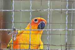 Sun conure parrots in cage Royalty Free Stock Images