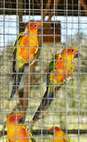 Sun conure parrots in cage Royalty Free Stock Photo