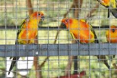 Free Sun Conure Parrots In Aviary Royalty Free Stock Photo - 81237765