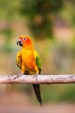 Sun Conure Parrots Stock Photo