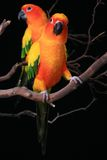 Sun Conure Parrots With One Looking at The Viewer stock photography