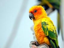 Sun Conure. A Sun Conure perches on a tree branch Royalty Free Stock Image