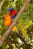 Sun Conure and Rainbow Lorikeet Stock Photography
