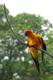 Sun conure or sun parakeet or aratinga solstitialis. The sun conure (Aratinga solstitialis) is a medium-sized brightly colored parrot native to northeastern Royalty Free Stock Images