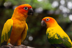 Sun conure on a tree branch Stock Image