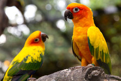 Sun conure on a tree branch Stock Photos