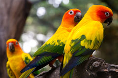 Sun conure on a tree branch Royalty Free Stock Photo