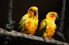 Sun conures Stockfotos