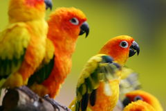 Sun Conures Stock Images