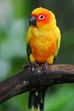 Sun Conures Stock Photo