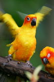 Sun Conures Stock Photography