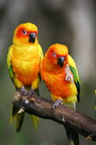 Sun Conures Royalty Free Stock Photo