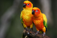 Sun Conures Royalty Free Stock Image