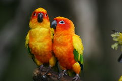 Sun Conures Photographie stock