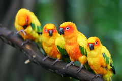 Sun Conures Photo stock