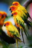 Sun Conures Royalty Free Stock Photography