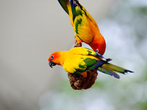 Sun conures enjoying themselves Royalty Free Stock Photography