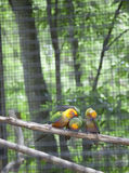 Sun Conures ou perruches Aratinga Solstitialis de Sun Images libres de droits