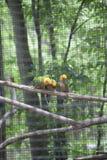Sun Conures ou perruches Aratinga Solstitialis de Sun Photos libres de droits
