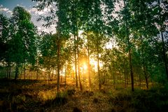 The sun crossing a forest of Eucalyptus stock image