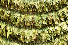Sun cured tobacco leaves Stock Photo