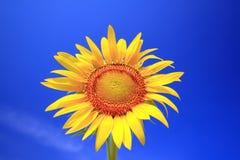 The Sun da flor Foto de Stock