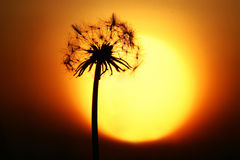 Sun and dandelion Stock Image