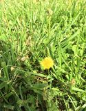 Sun dandelion. Dandelion in the wild and free. Yellow dandelion Royalty Free Stock Images