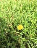 Sun dandelion Royalty Free Stock Images