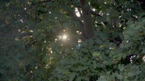Sun dans des feuilles d'érable banque de vidéos