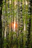 Sun dans les bouleaux Photos stock