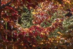 Sun dapled las hojas de arce que cambiaban colores vibrantes en la caída Imagenes de archivo
