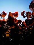 Sun Dappled as folhas vermelhas 2 imagens de stock