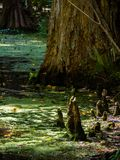 Sun Dappled Cypress Knees. Cypress knees rise from a South Carolina swamp in dappled sunlight filtering through the forest canopy royalty free stock image