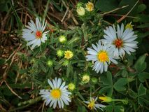 Sun Dappled Daises Royalty Free Stock Image