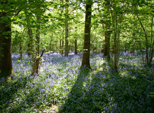 Sun dappled i bluebells Immagine Stock