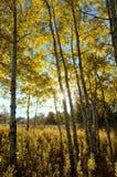 The Sun, das durch Aspen Trees im Fall glänzt Stockfotografie