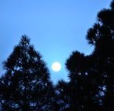 Sun of dawn among pines Royalty Free Stock Photos