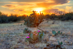 Sun. Days last rays reaching for blooming Prickly Pear Cactus Royalty Free Stock Photos