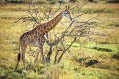Sun della giraffa giù Fotografie Stock Libere da Diritti