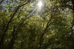 Sun della primavera che splende le corone verdi dell'albero della depressione Fotografie Stock