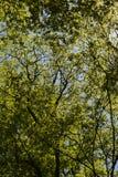 Sun della primavera che splende le corone verdi dell'albero della depressione immagine stock libera da diritti