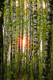 Sun in den Birken Stockfotos