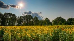 Sun, der über einem Sun-Blumenfeld scheint Stockbild