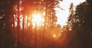 Sun, der über Forest Lane, Land-Straße, Weg, Gehweg durch Kiefer Forest Sunset Sunrise In Summer Forest Trees scheint