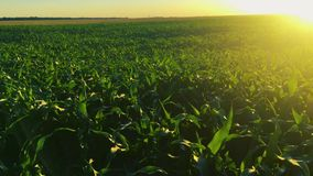 Sun, der über Landschafts-ländlicher Landschaftsgrünmais-Mais-Feld-Plantage scheint Ackerland-im Juni Monat landwirtschaftlich stock video